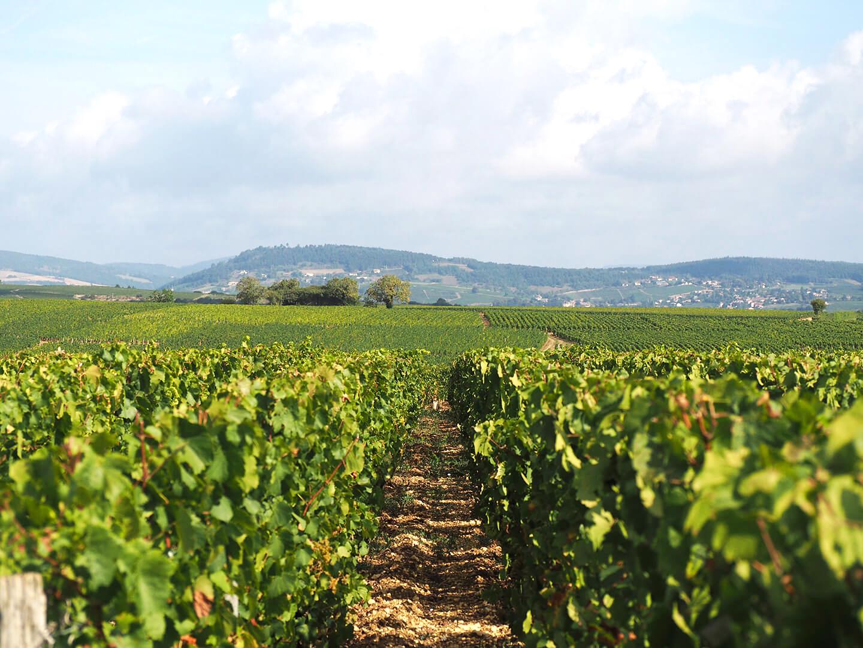 Vignes de Pouilly Fuissé