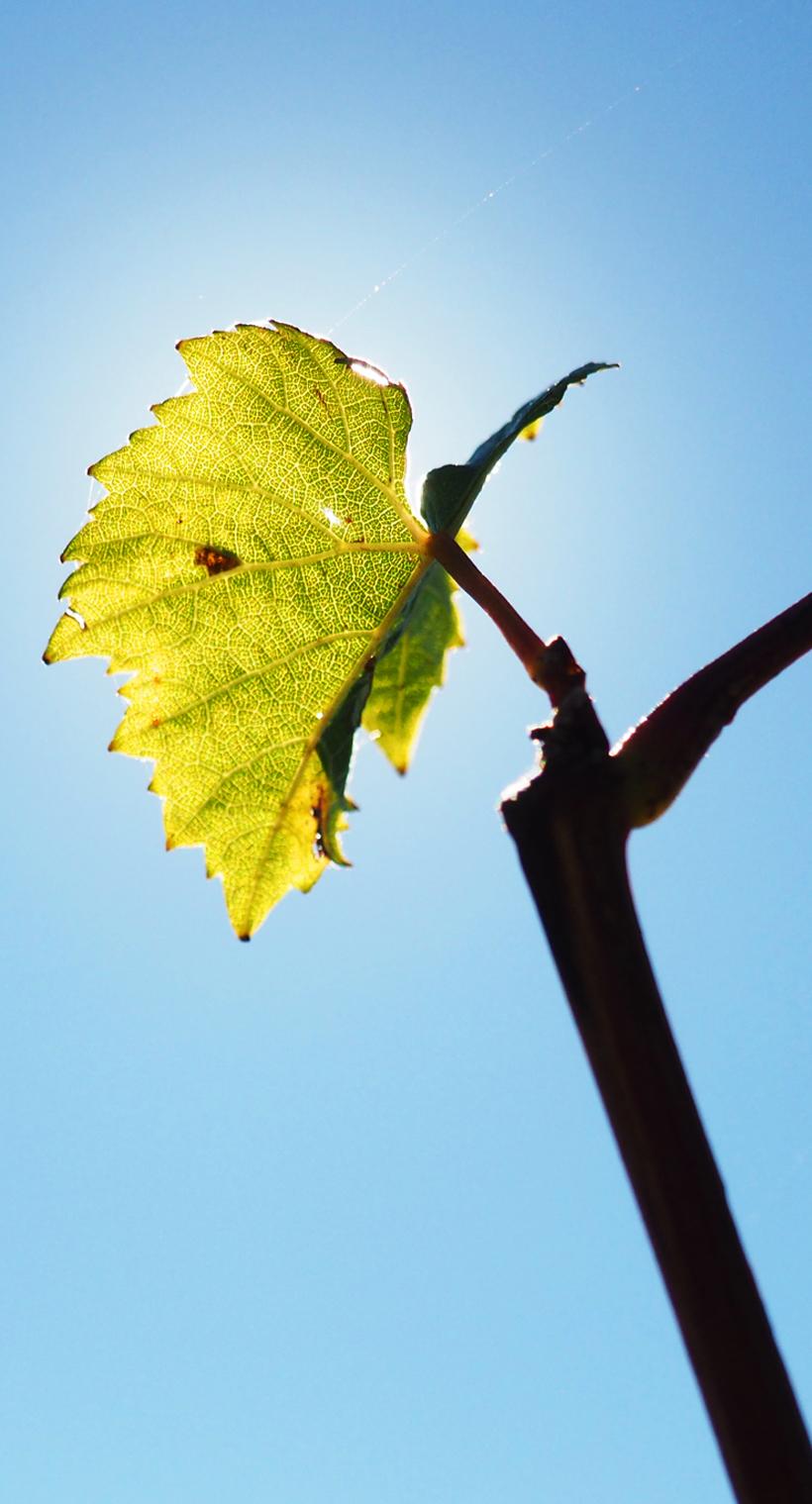 shooting photo dans les vignes Vins Lapalus