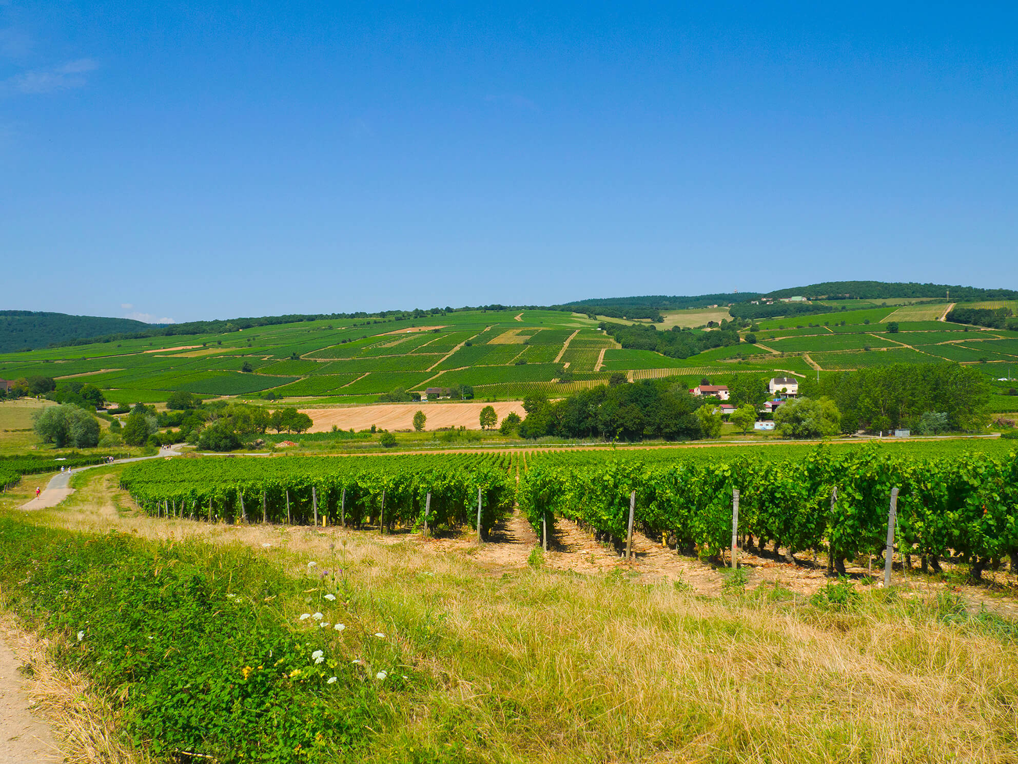 paysage des vignes d'Igé