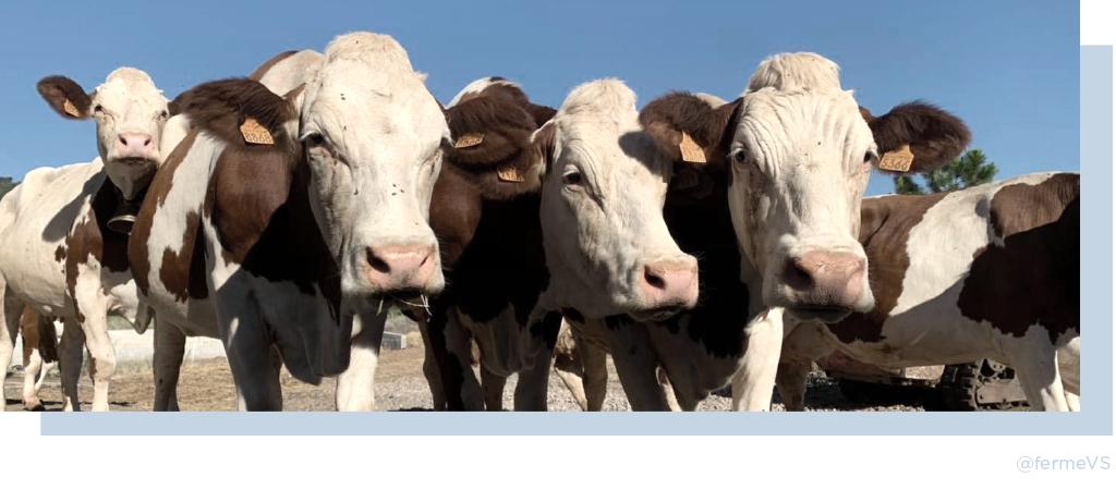 vaches ferme du vallat sableux