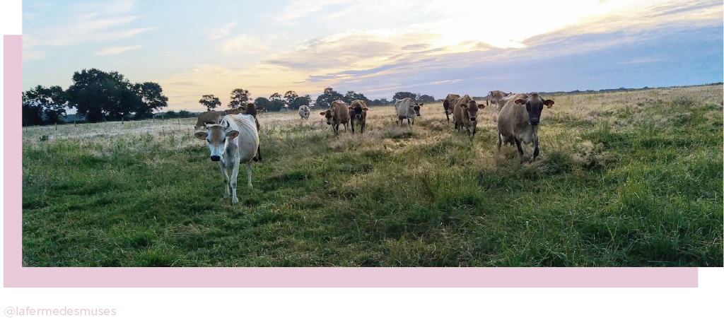 vaches la ferme des muses